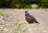 Tétras du Canada / Spruce Grouse