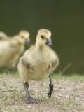 Canard, Échassier et Limicole
