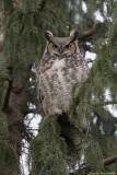 Grand duc d'Amérique/ Great Horned Owl