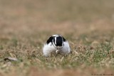 Pic chevelu / Hairy Woodpecker