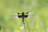 Libellule mélancolique / Widow skimmer