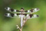 Libellule gracieuse / Twelve-spotted Skimmer