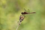 Sympetrum rubigineux / Saffron-winged Meadowhawk