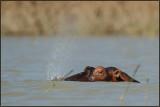 Hippopotame 01