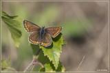 Bruin blauwtje Aricia agestis