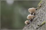 Porseleinzwam Oudemansiella mucida