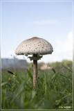 Grote parasolzwam Macrolepiota procera