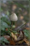_MG_9292.jpg Langsteelfranjehoed - Psathyrella conopilus