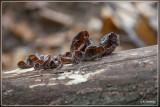 _MG_9378.jpg Echt judasoor - Auricularia auricula-judae