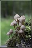 _MG_9420.jpg Fraaisteelmycena - Mycena inclinata