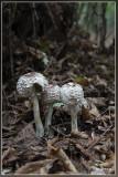 _MG_9453.jpg Gewone knolparasolzwam - Chlorophyllum rhacodes