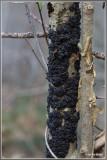 Zwarte trilzwam - Exidia plana