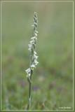 Genus Spiranthes