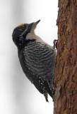 American Three Toed Woodpecker