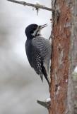 American Black Backed Woodpecker