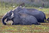 indian_elephant