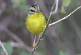 Golden Crowned Warbler