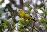 Golden Crowned Warbler 8.jpg