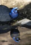 Blue Bunting