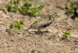 Chestnut Collared Longspur