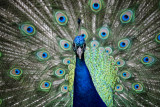 Proud as a Peacock - by Kristen Bruley