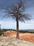Ponderosa Pine - by Fang Wang
