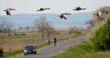 Nyári ludak a Fertő-tónál  -  Summer geese at Lake Fertő