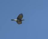 Large Cuckoo-shrike
