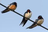 swallows_and_martins_hirundinidae_lastovke