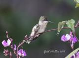 Hummingbirds 2019