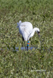 Rare-to-Arkansas, a Whooping Crane at Holla Bend Wildlife Refuge, Dardanelle, AR.