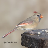 Female Cardinal With Light-Colored Primary Feathers