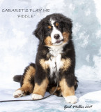 CABARET'S PLAY ME -- Owned by Val Murphy -- Call name:Fiddle