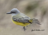 Tropical Kingbird -- Pine Bluff, Arkansas -- First State Record for Arkansas