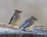 Cedr Waxwings Eating sunflower chips at my feeder station!!  Photo taken through a closed window.