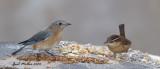 Eastern Bluebird, female and Carolina Wren
