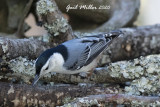White-breasted Nuthatch, male