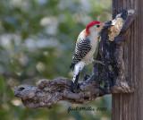 Red-bellied Woodpecker, male