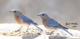 Eastern Bluebird, males