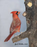 Nothern Cardinal, male