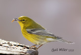 Pine Warbler  Winter 2018, First Pine Warbler at my house.  Returned Winter 2019-January 2020