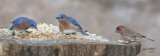 Eastern Bluebirds, males and male House Finch.
