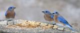 Estern Bluebird, males.