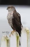 Sharp-shinned Hawk stalking my feeder station.