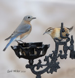 Easstern Bluebird, female.  Carolina Wren. Mealworm feeder is an antique lamp holder.