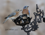Eastern Bluebirds, female and male.