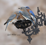 Eastern Bluebirds eating live mealworms.