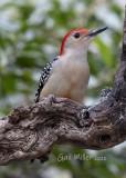 Red-bellied Woodpecker, male.
