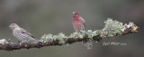House Finch, female and male.