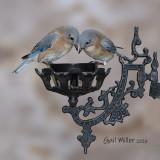 Eastern Bluebird, females.